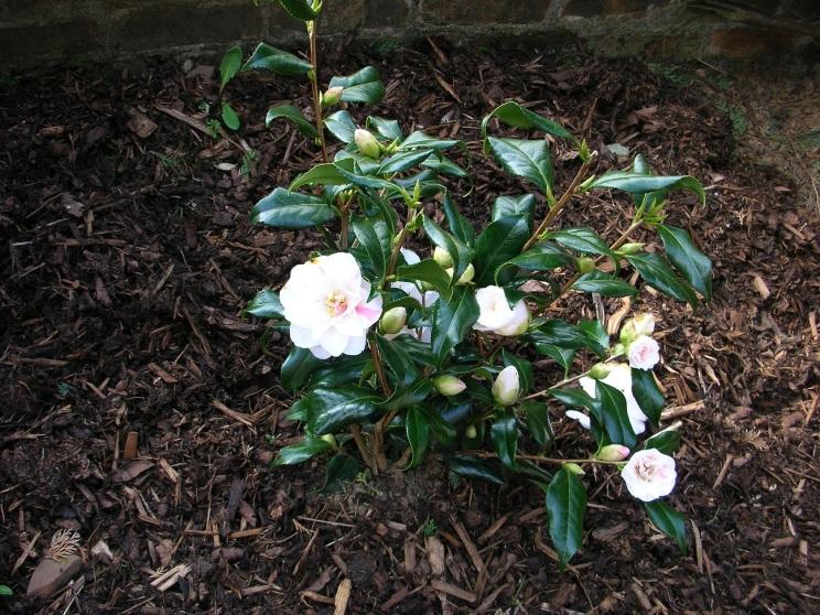 Garden, front, Camellia