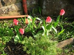 Garden, front, tulips 2, 2019