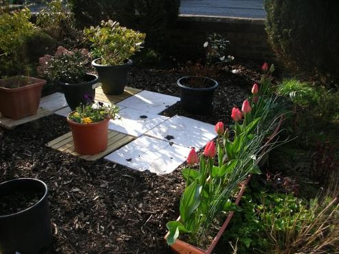 Garden, front, tulips 2019