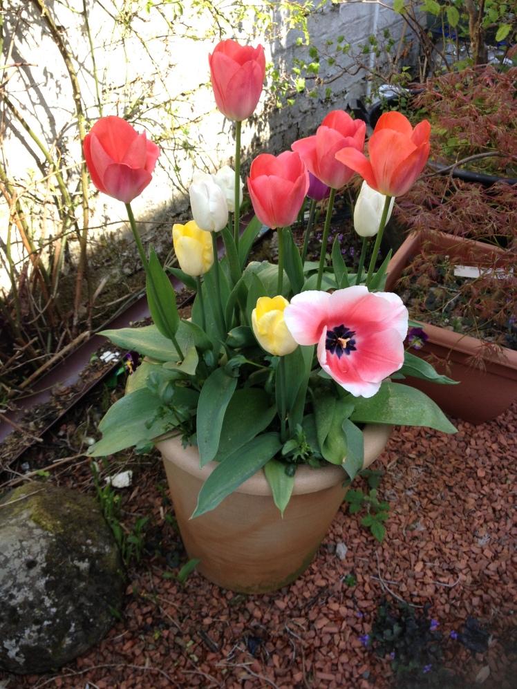 Tulips 3 Apr 2019