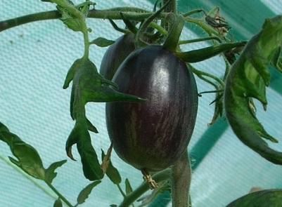 Brad's Atomic Grape Tomato