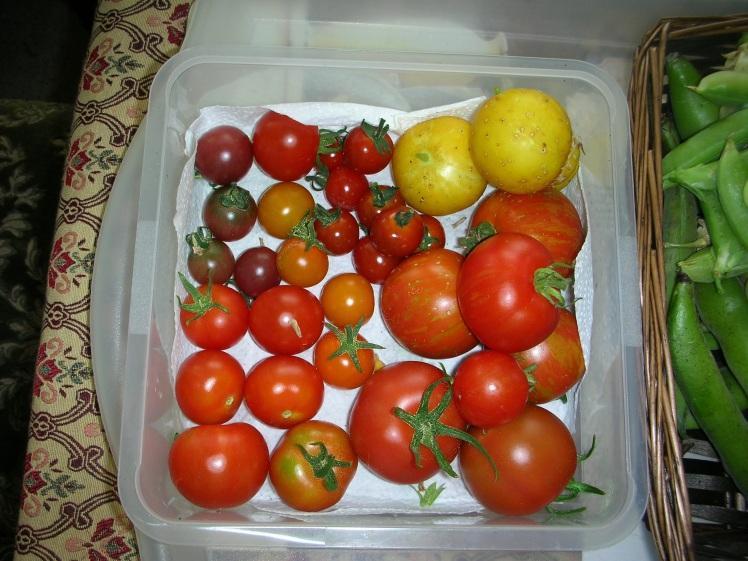 Tomato harvest 2019