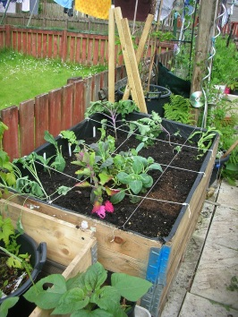 Transplanted in raised bed